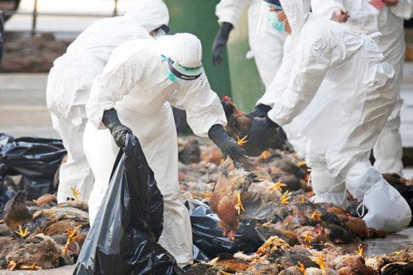 آنفولانزای پرندگان در استان سمنان نیازمند پایش است